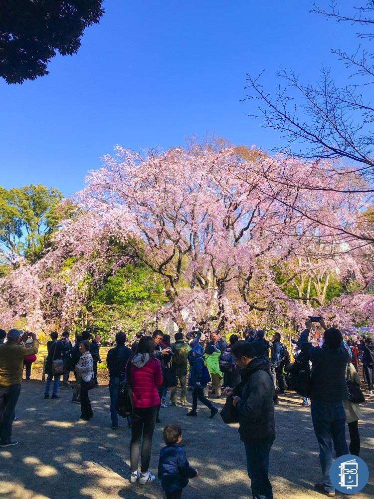 六義園の枝垂れ桜(昼)加工後