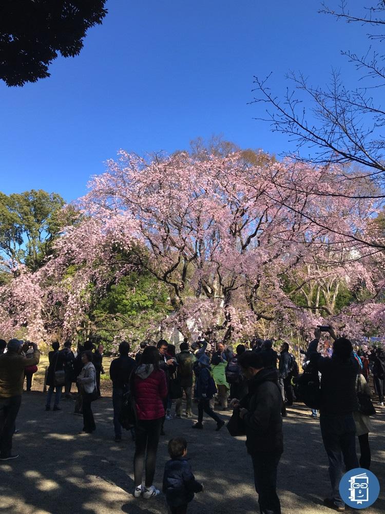 六義園の枝垂れ桜(昼)