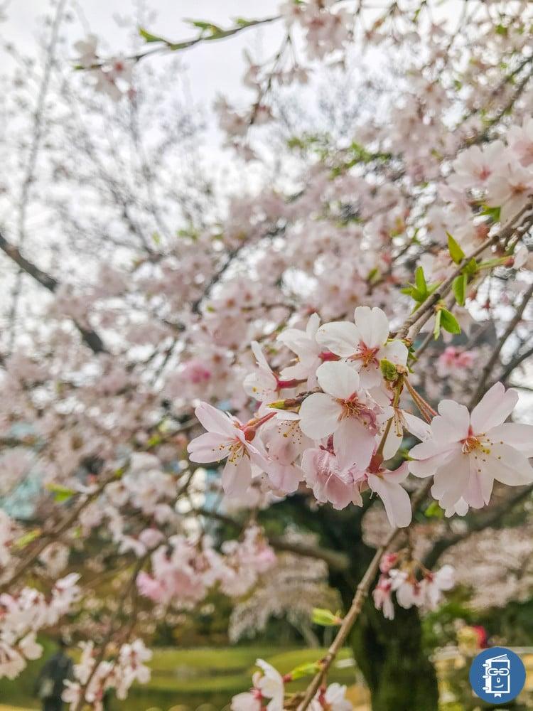 小石川後楽園の桜(加工後)